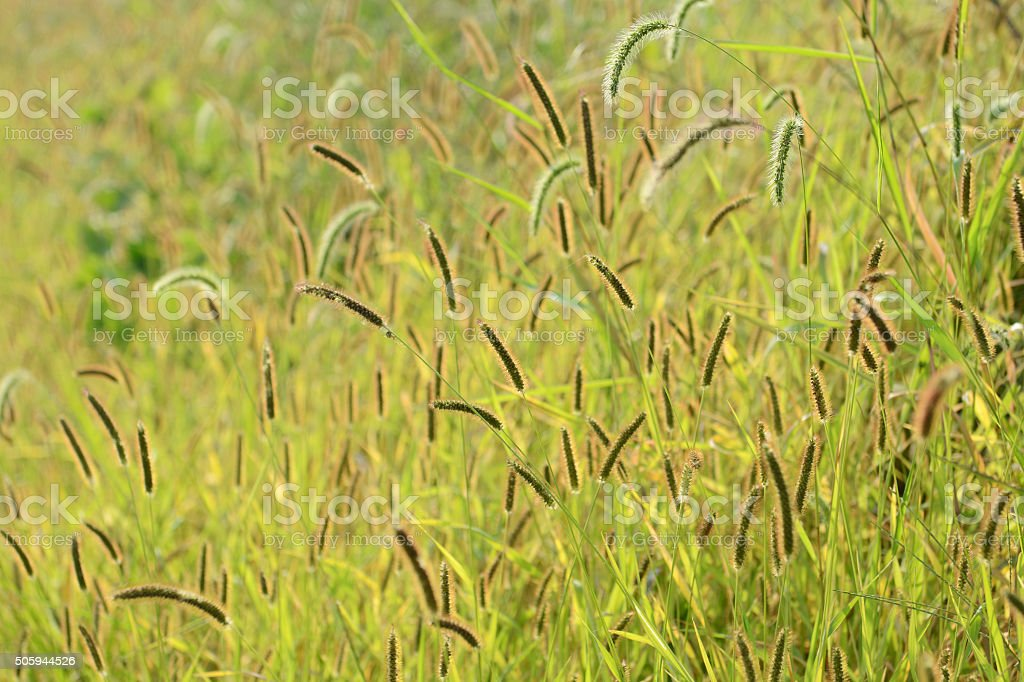 Foxtail Grass flowers stock photo