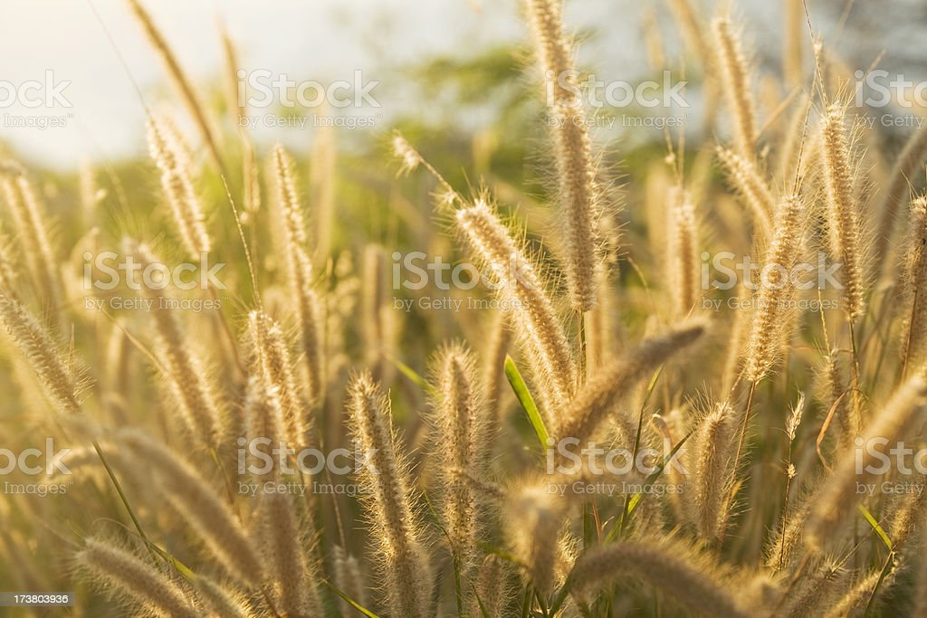 Foxtail grass royalty-free stock photo