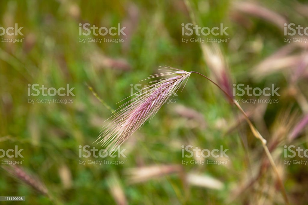 Foxtail Grass Weed stock photo