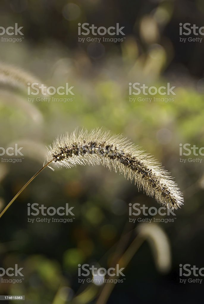 Foxtail in Fall stock photo