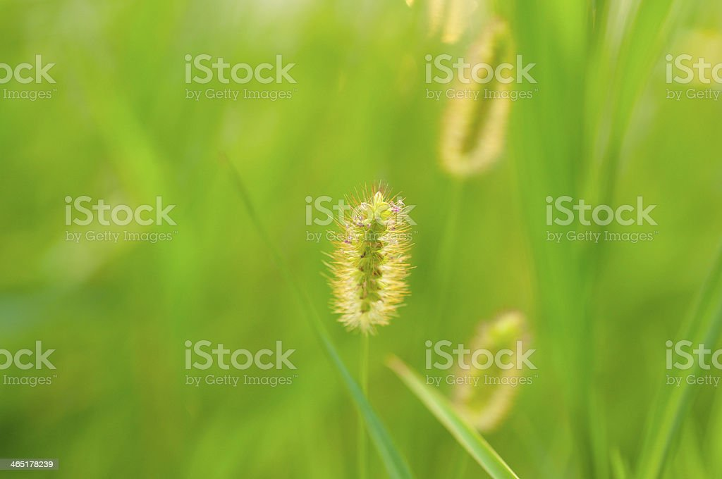 foxtail stock photo
