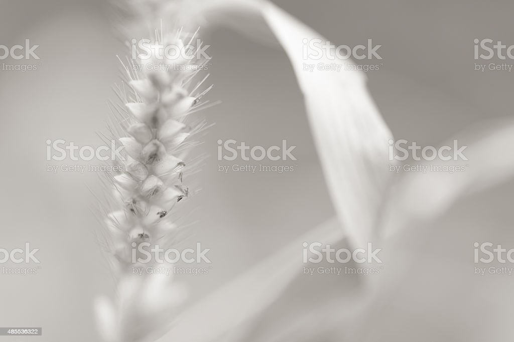 Foxtail Seed Head stock photo