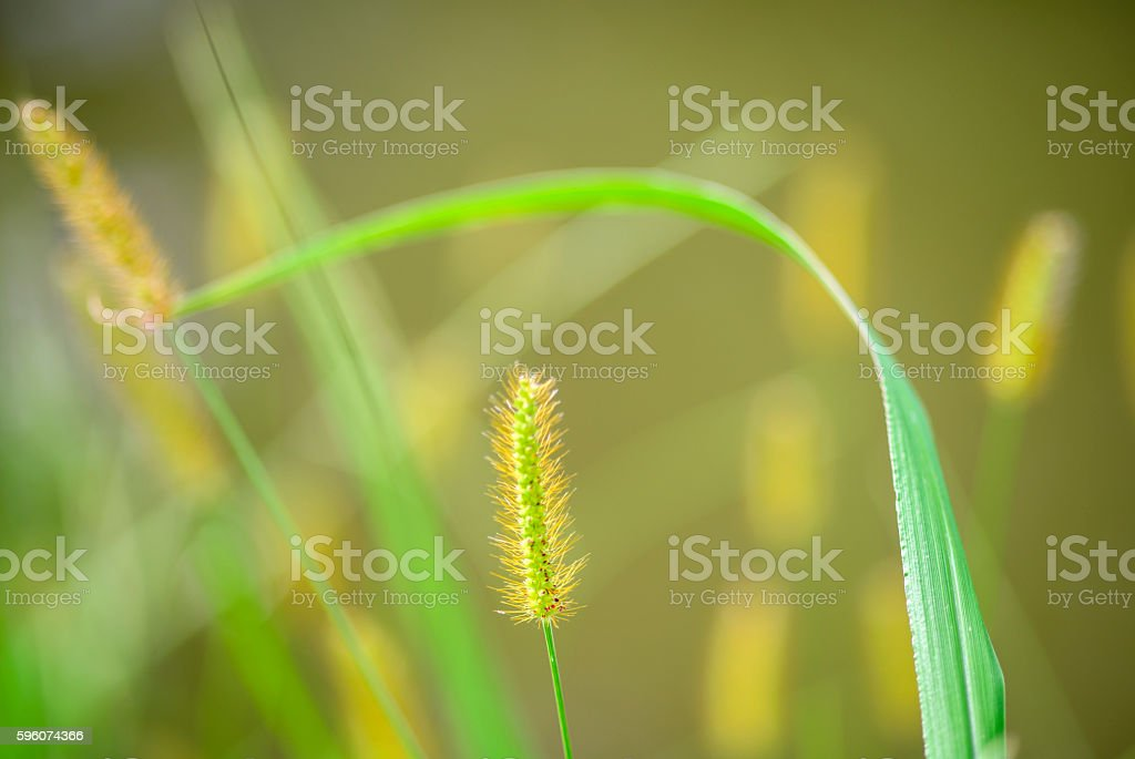 foxtail weed stock photo