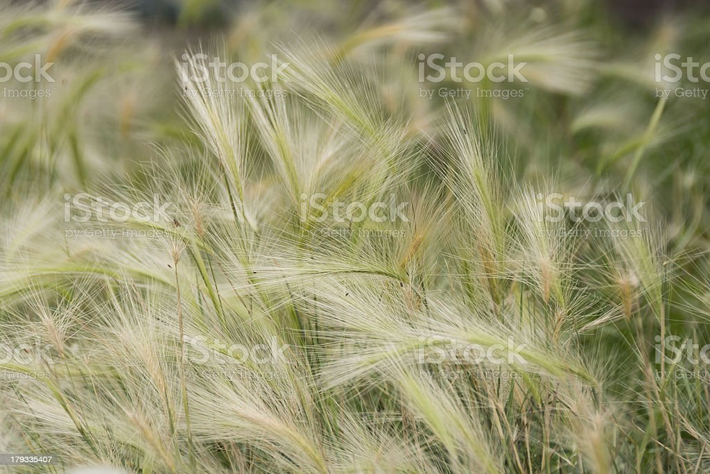 Foxtail weeds (wild barley) green and light yellow. stock photo