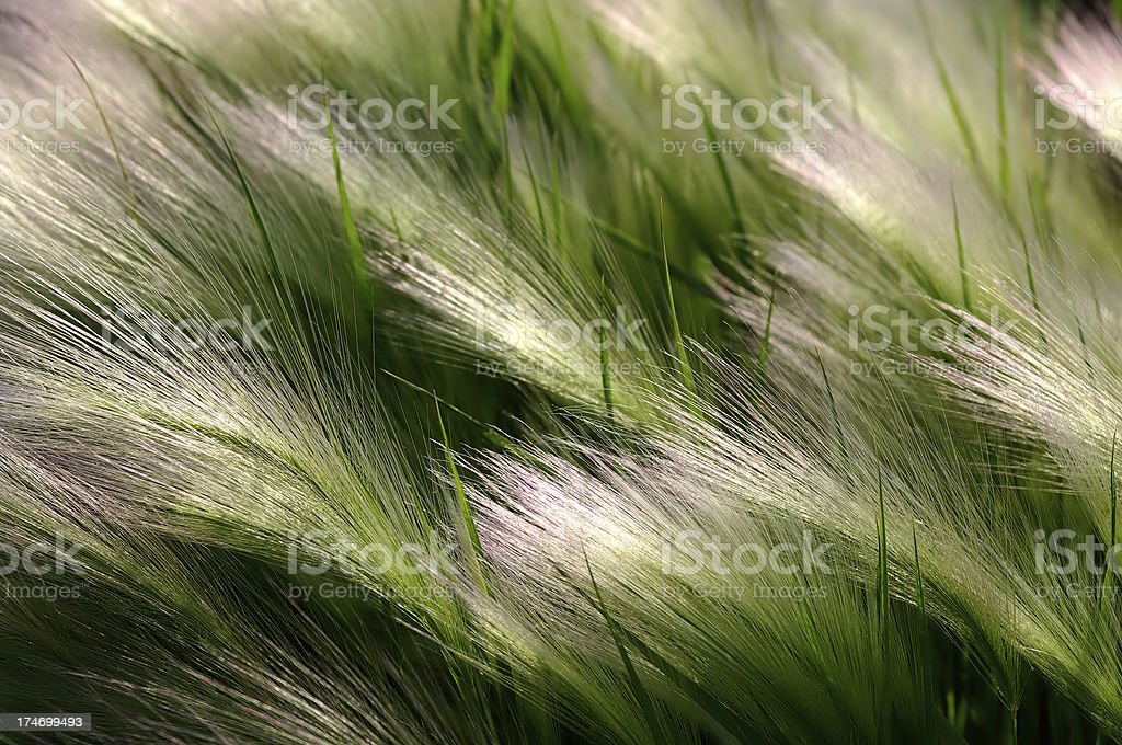 Foxtails stock photo