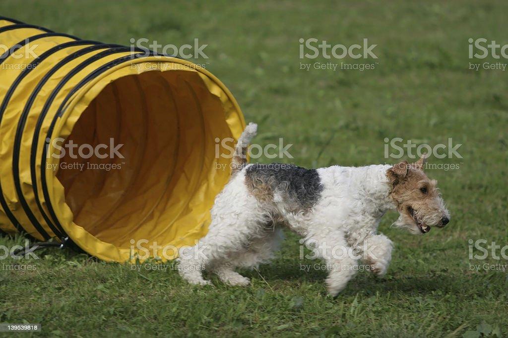 Foxterier - agility royalty-free stock photo