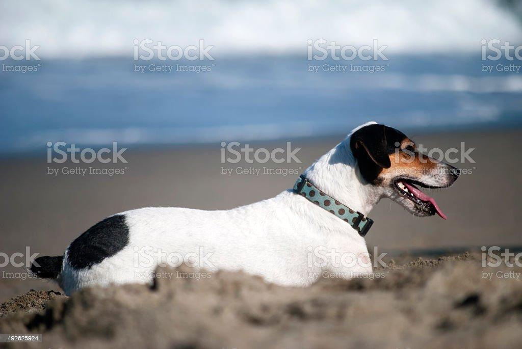 Fox-terrier brasileiro on the beach stock photo