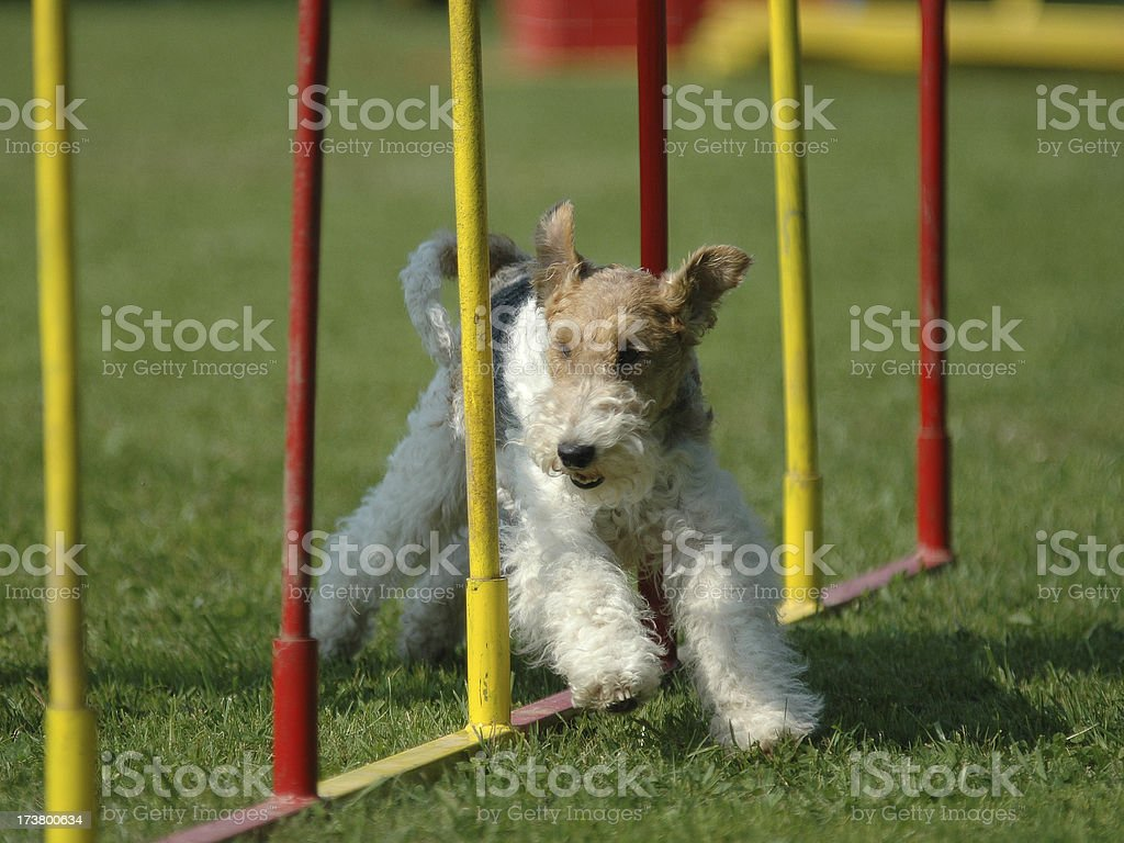 Foxterrier royalty-free stock photo