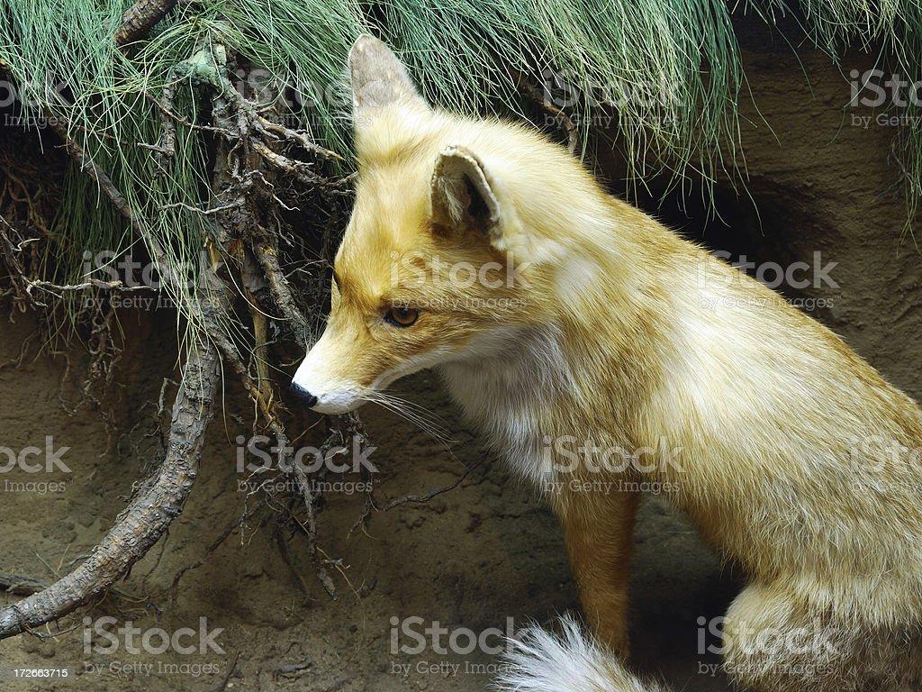 foxy lady stock photo