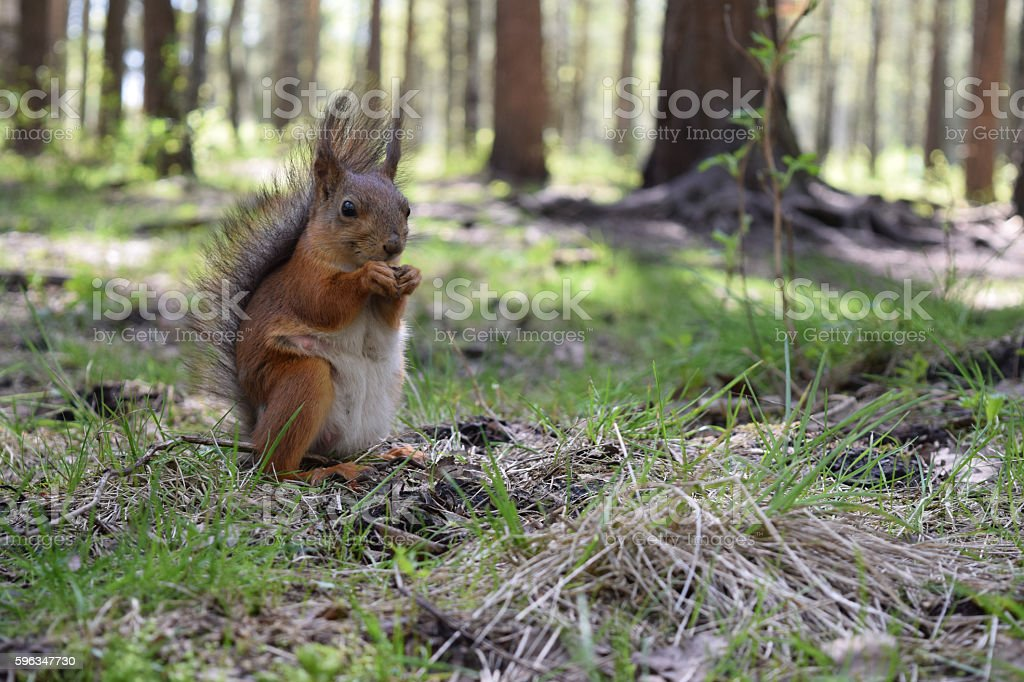 Foxy squirrel with tit, prow and brush sitting on grass stock photo
