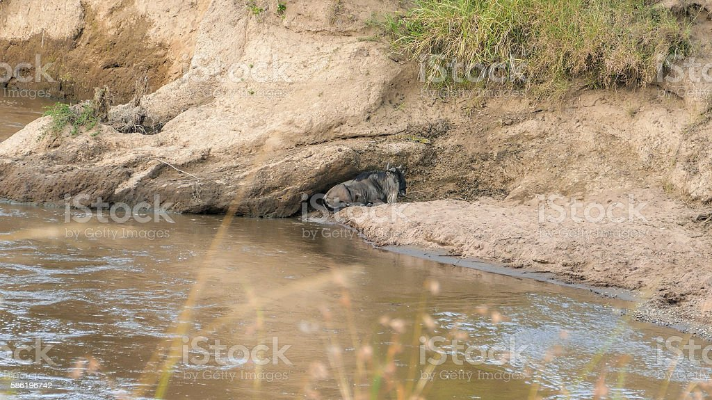 Fracture legs wildebeest and Monitor Lizard stock photo