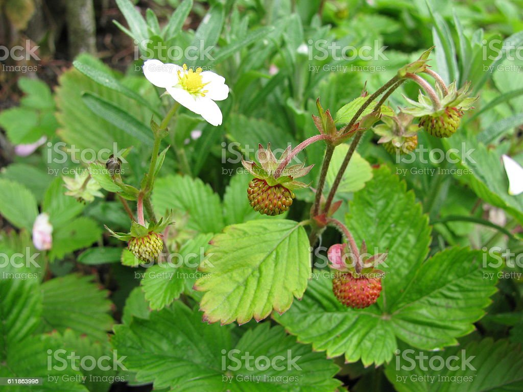Fragaria vesca stock photo