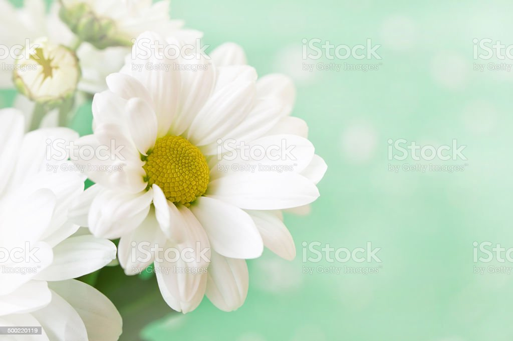 fragile cute chamomile on a soft green background stock photo