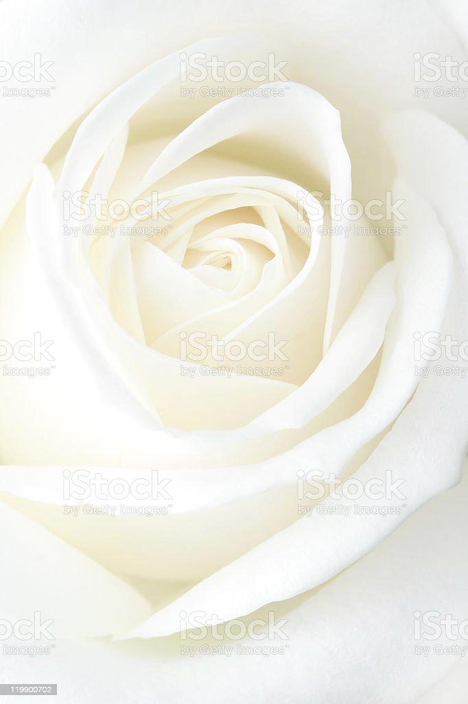 Fragile white rose. Macro. stock photo