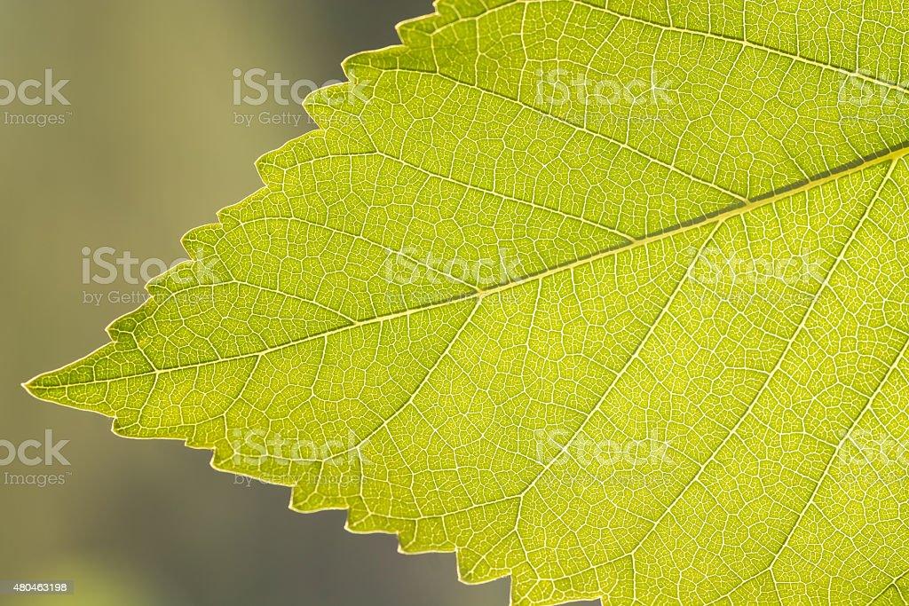 Fragment a green leaf, backlit. stock photo