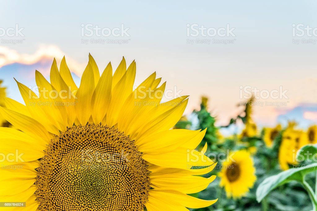 Fragment bright blooming sunflower close-up on a field background . Agricultural background. stock photo