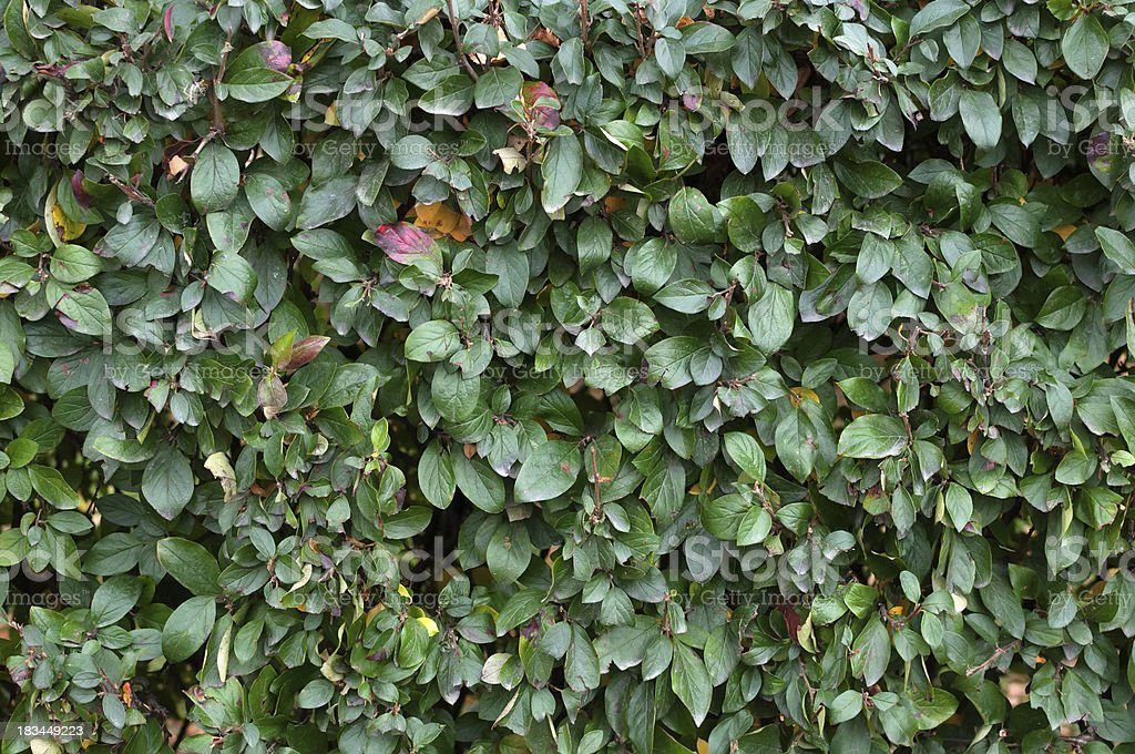Fragment of a green hedge royalty-free stock photo