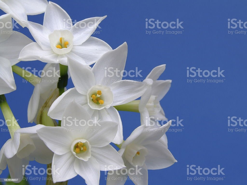 Fragrant narcissus stock photo