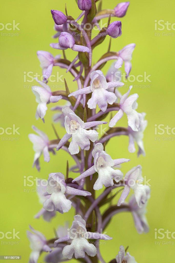 Fragrant Orchid (Gymnadenia conopsea) royalty-free stock photo