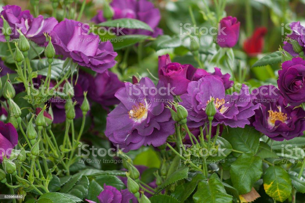 Fragrant Rose in Full Bloom. Washington Park Rose Garden stock photo
