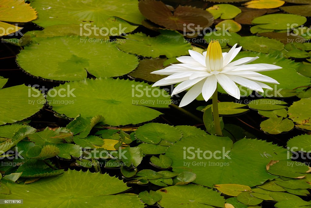 Fragrant Water Lily royalty-free stock photo