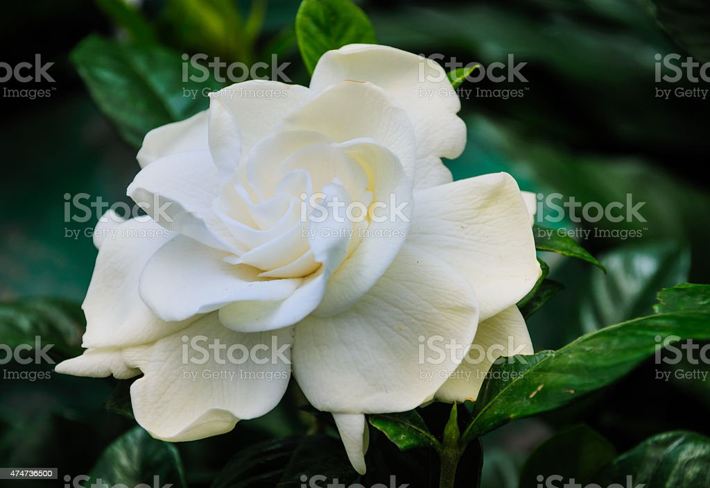 Fragrant White Gardenia stock photo