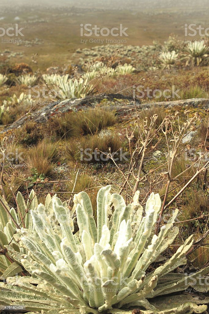 Frailejon Plantae stock photo