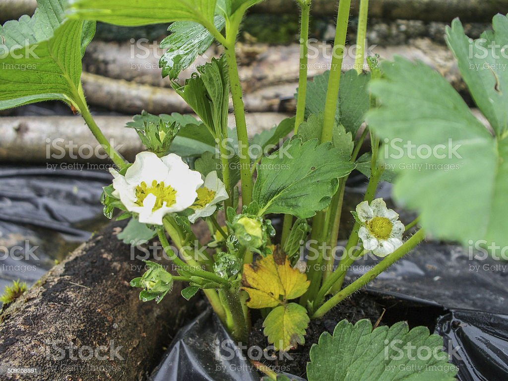 Fraisier, jardin, Fleur, Feuille stock photo