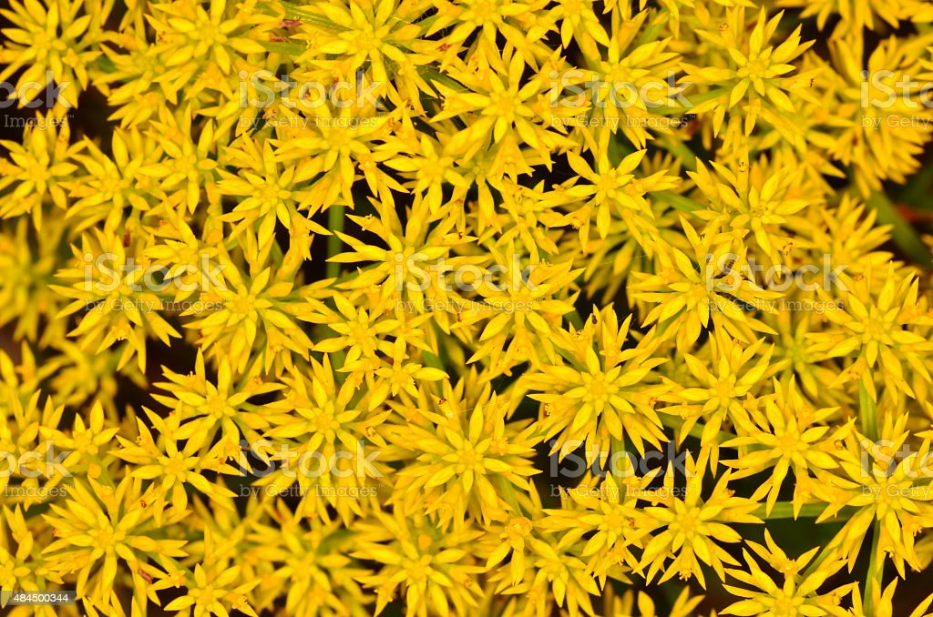 Frame filling cluster of aster flowers stock photo