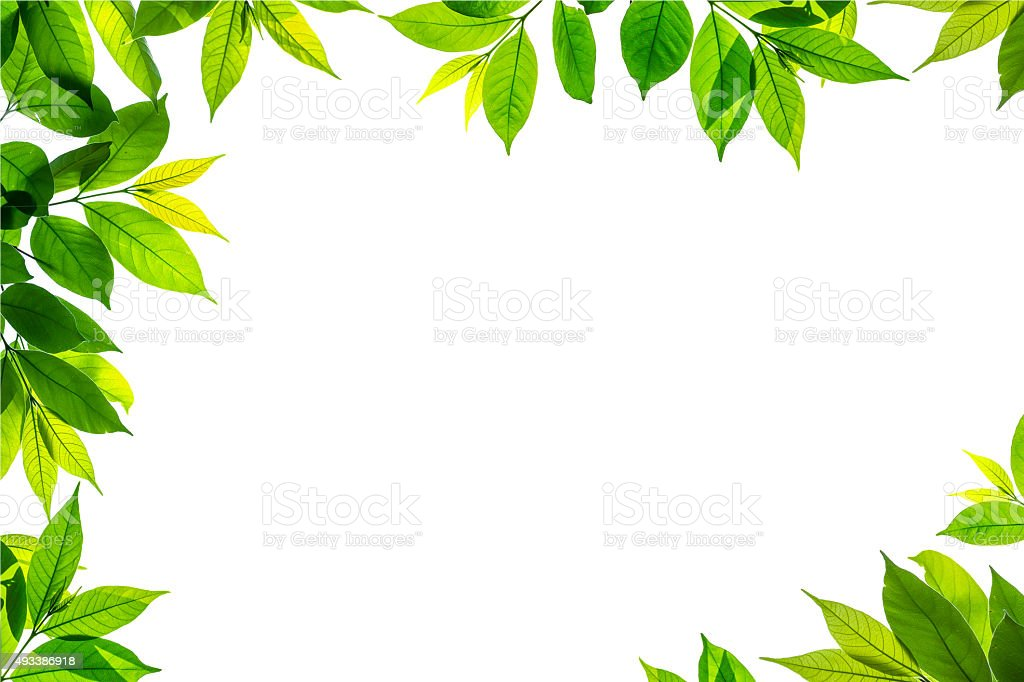 frame of isolated branch of green leave on white background_ stock photo