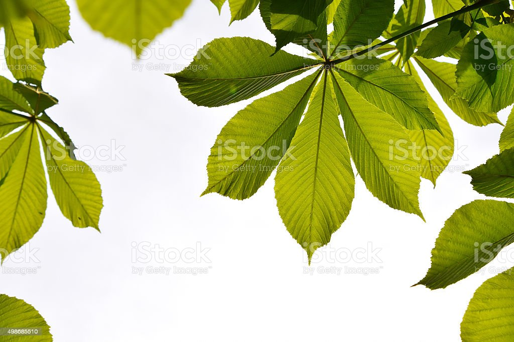 Frame of translucent horse chestnut textured green leaves in bac royalty-free stock photo