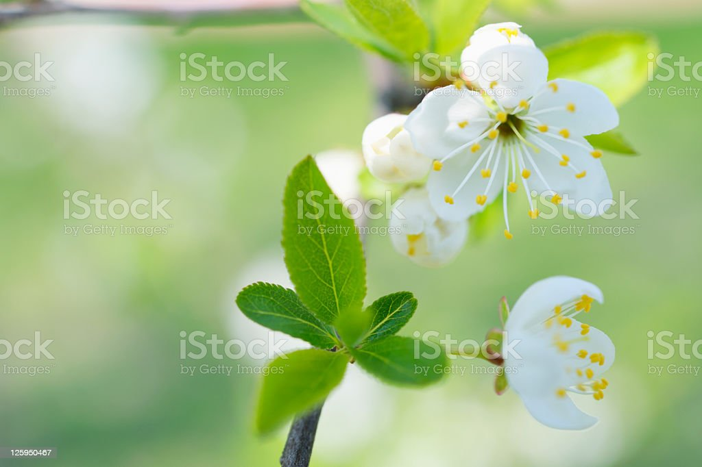 Frame of White Spring Cherry Blossom on pastel green background royalty-free stock photo
