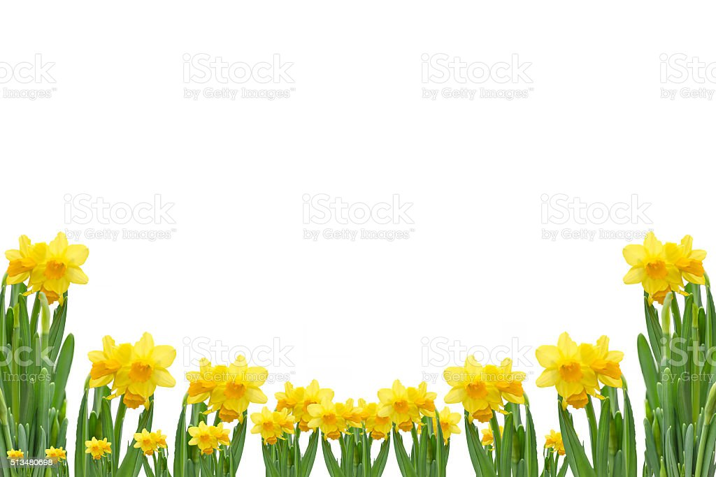 Frame out daffodils stock photo