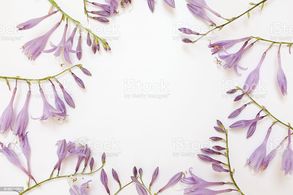 Frame with purple hosta flowers isolated on white background. stock photo