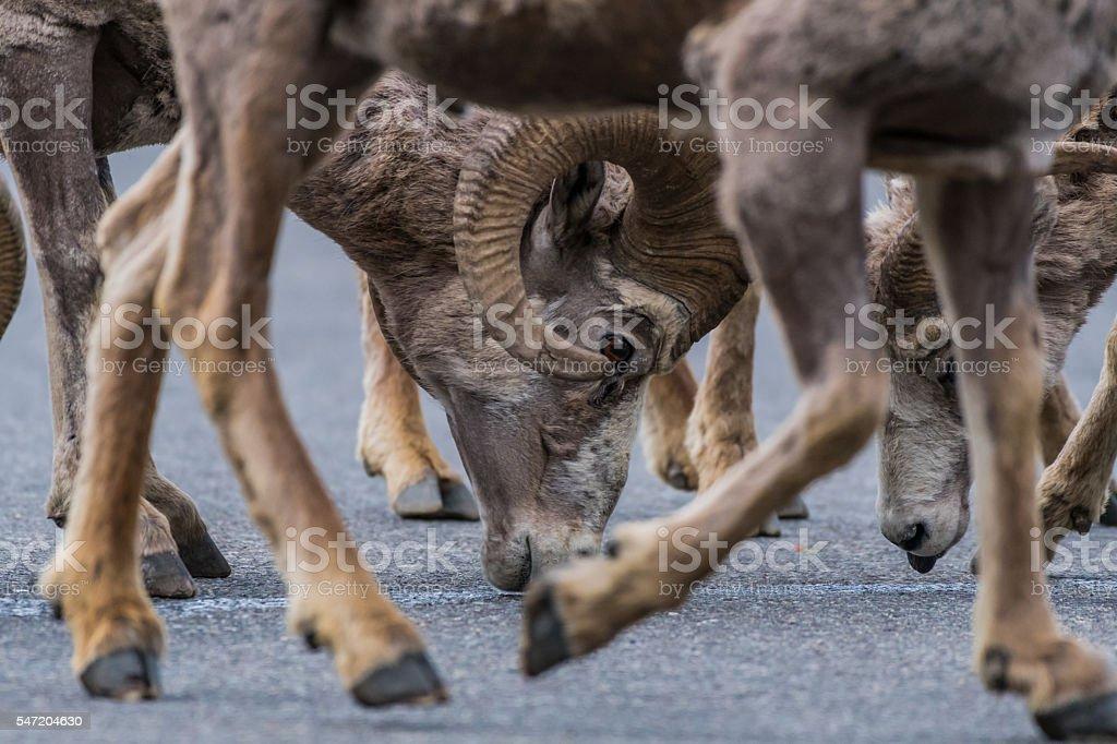 Framed Big Horn Sheep Head stock photo