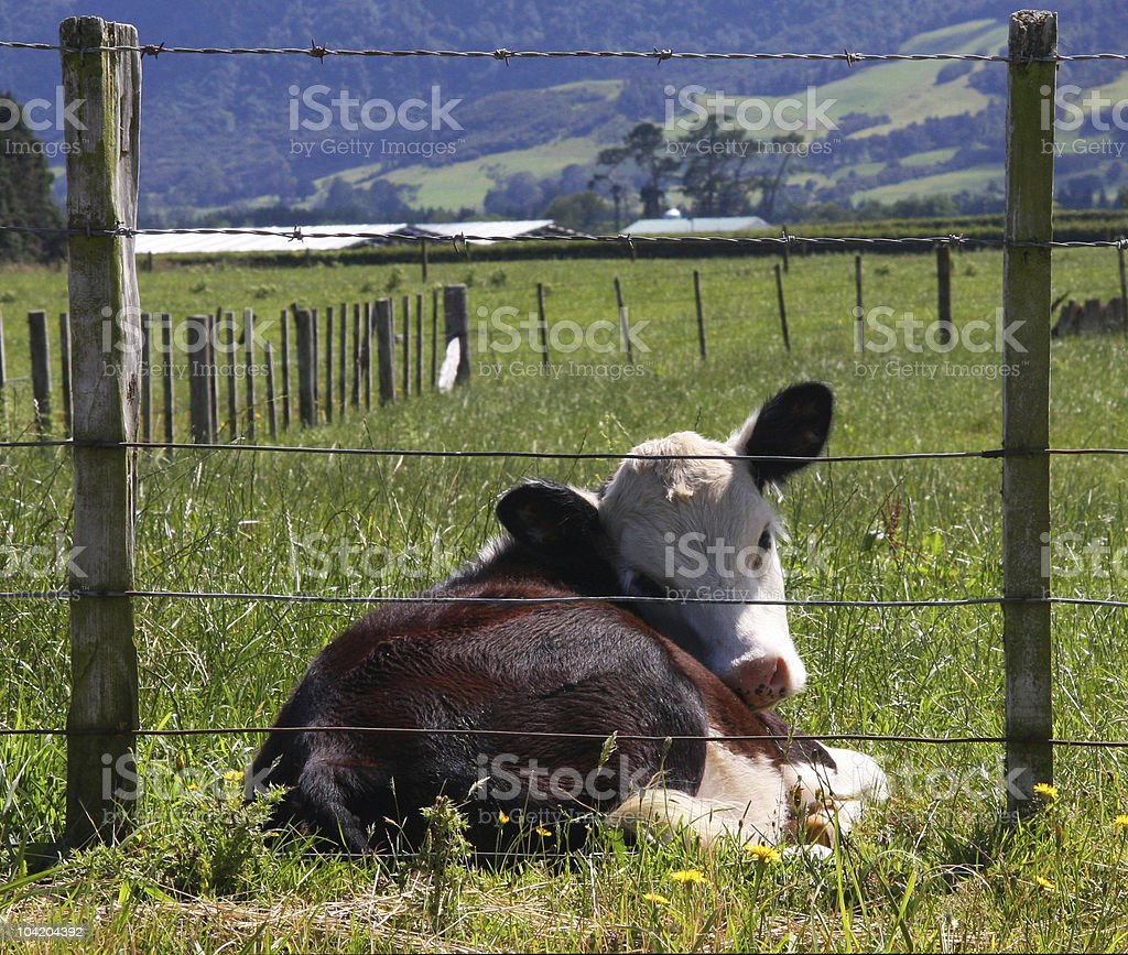 Framed Calf royalty-free stock photo