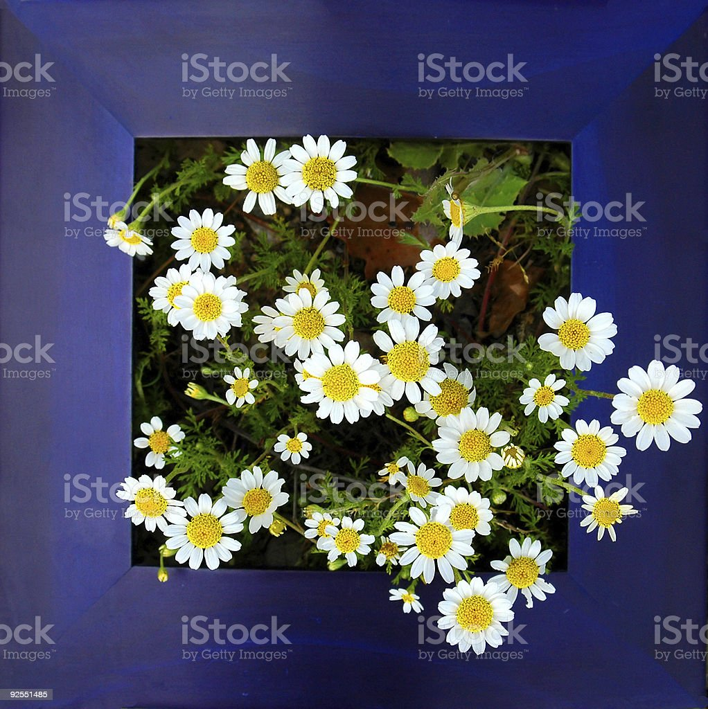 Framed daisies. royalty-free stock photo