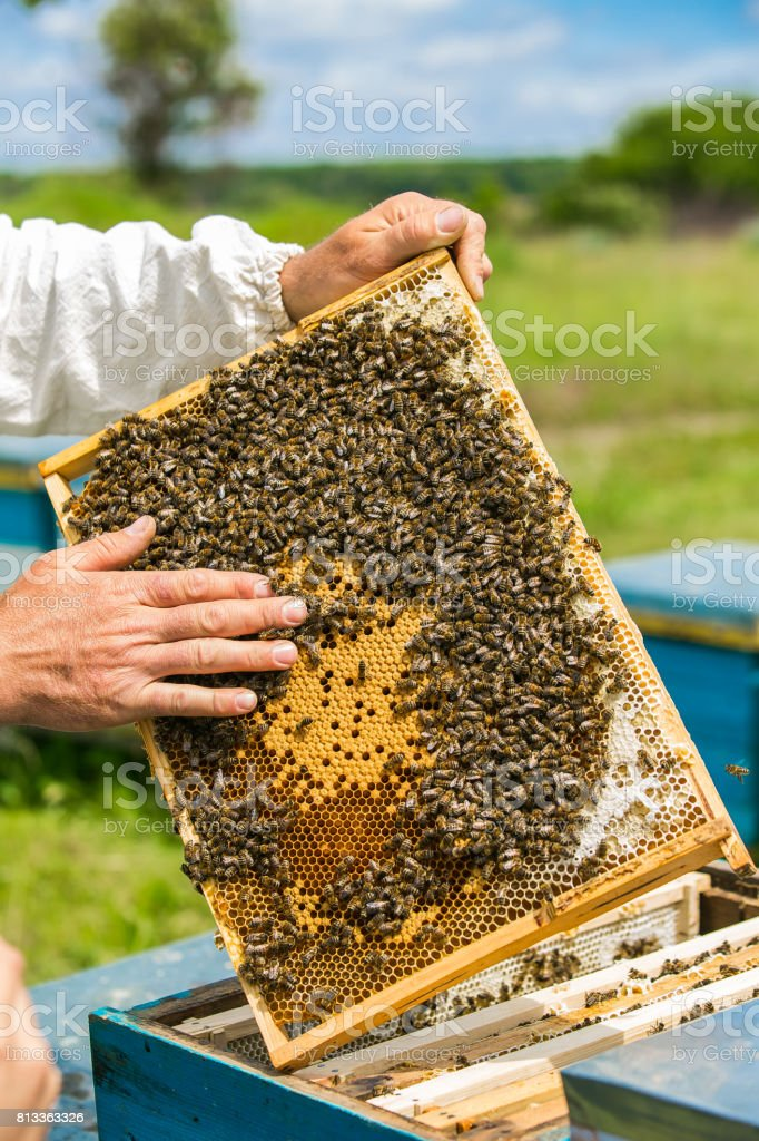 Frames of a bee hive. Hand of beekeeper is working with bees and beehives on the apiary. stock photo