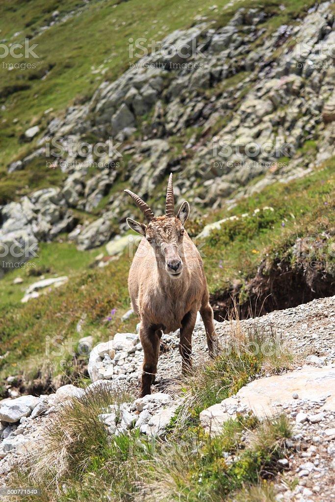 France, Haute Savoie, Chamonix Mont Blanc, moutain goat, lac Blanc stock photo