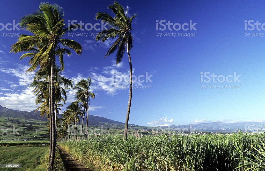 France, Réunion, sugar cane and coconut. stock photo