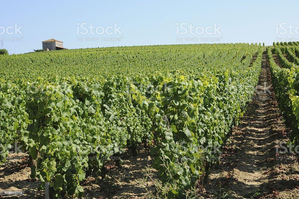 France, the vineyard of Sauternais in summer stock photo