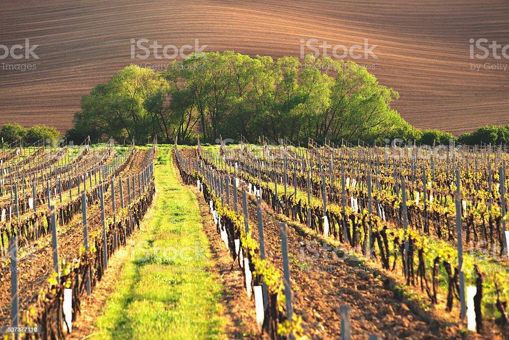 France vineyard at summer time stock photo