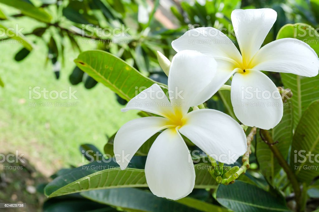 Frangipani beautiful green leaves in the park. stock photo