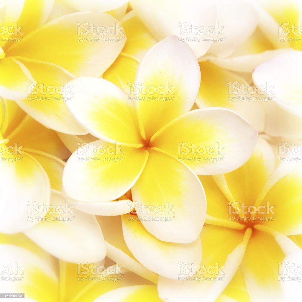 Frangipani Beauty royalty-free stock photo