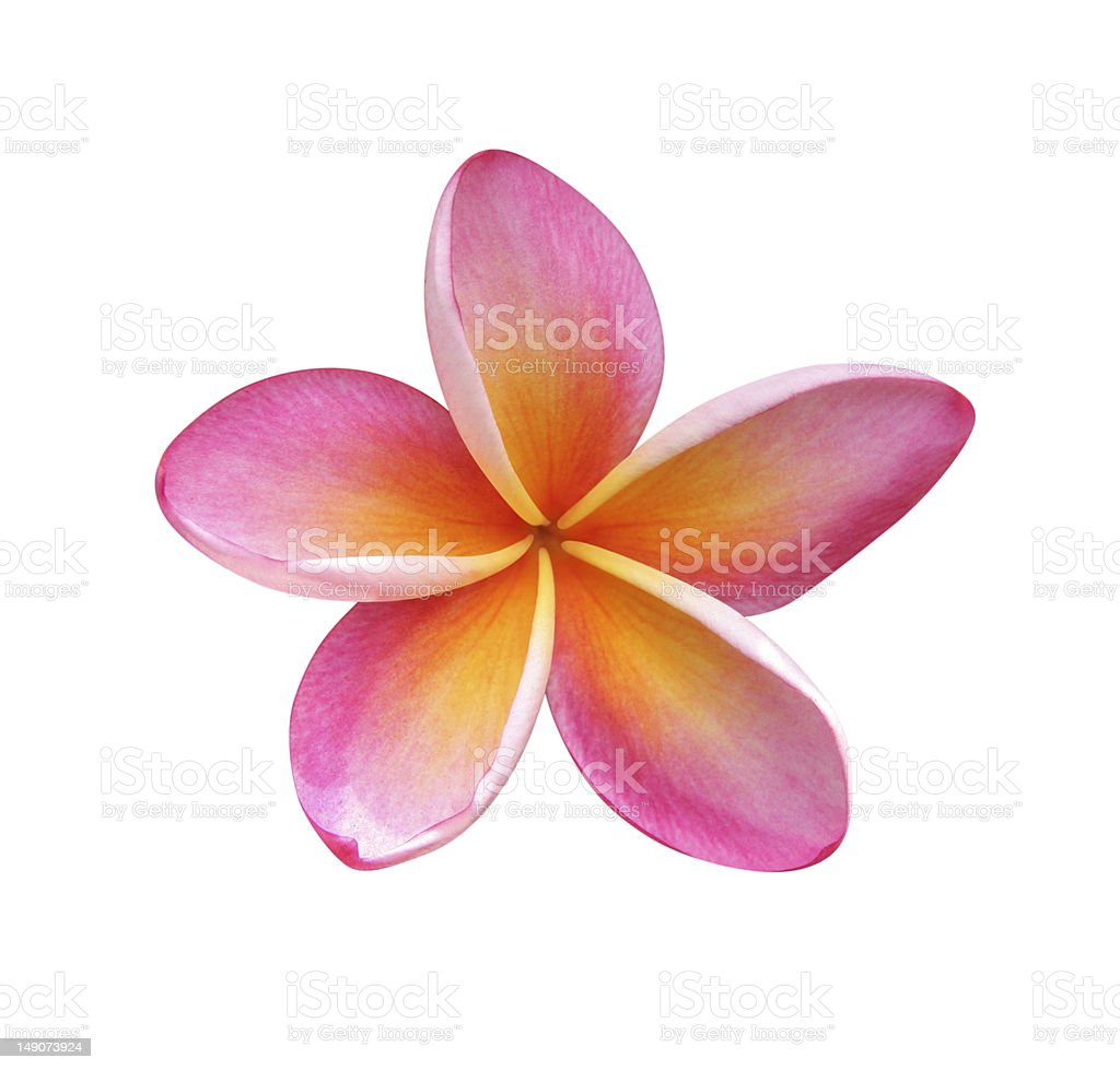 Frangipani - clipping path included stock photo