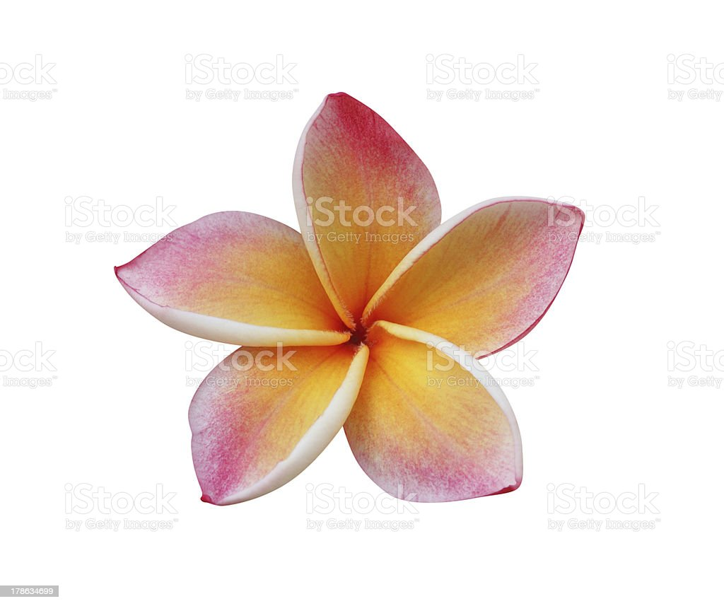 Frangipani (Plumeria) – clipping path included stock photo