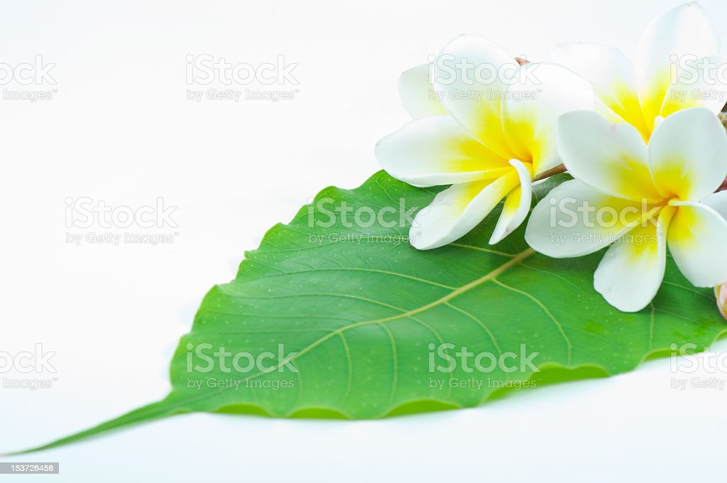 frangipani flower and green leaf royalty-free stock photo
