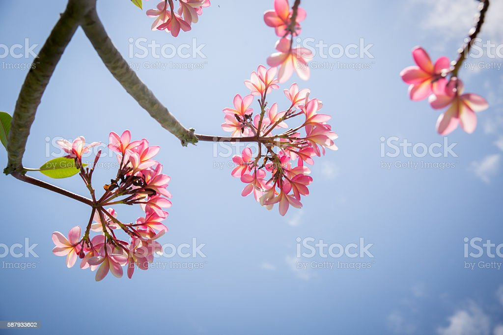 Frangipani flower Bali stock photo