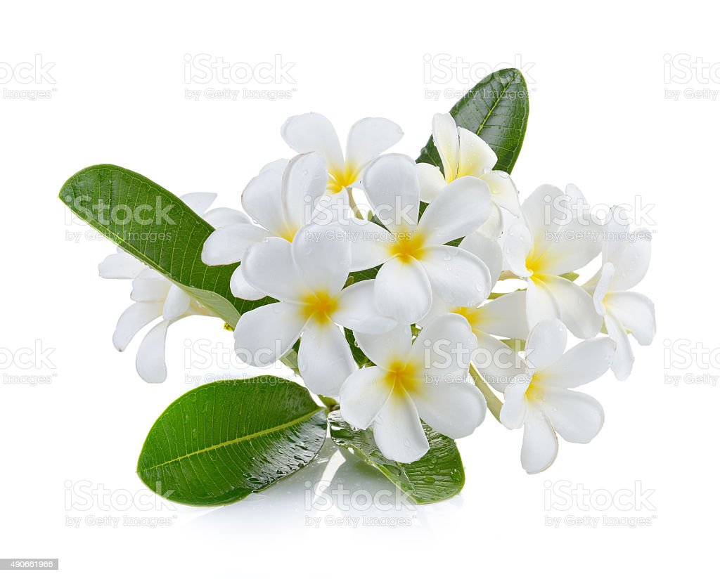 frangipani flower isolated white background stock photo