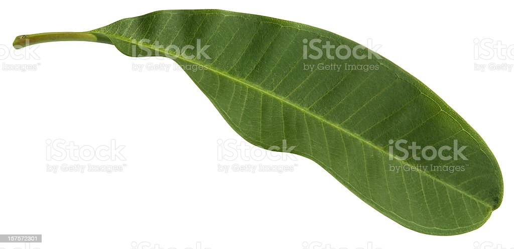 Frangipani flower leaf isolated on white with clipping path stock photo